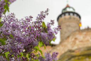 Lila Blumen vor Nürnberger Burg. Impressionen aus dem Nürnberger Norden von Barbara Regitz